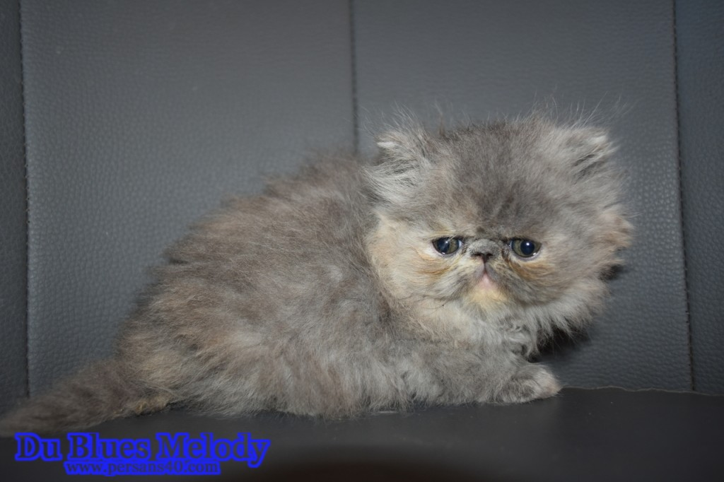 PRUNELLE chaton persan blue tortie et blancPRUNELLE chaton persan blue tortie et blanc