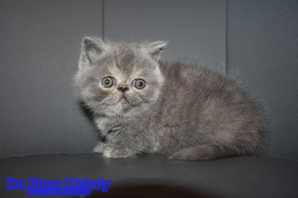 PISTACHE Chaton exotic shothair blue tortie