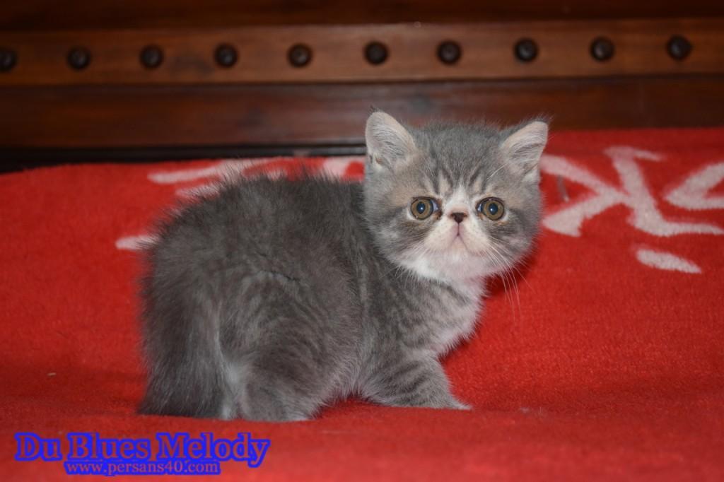 PONGO – mâle exotic shorthair bleu tabby
