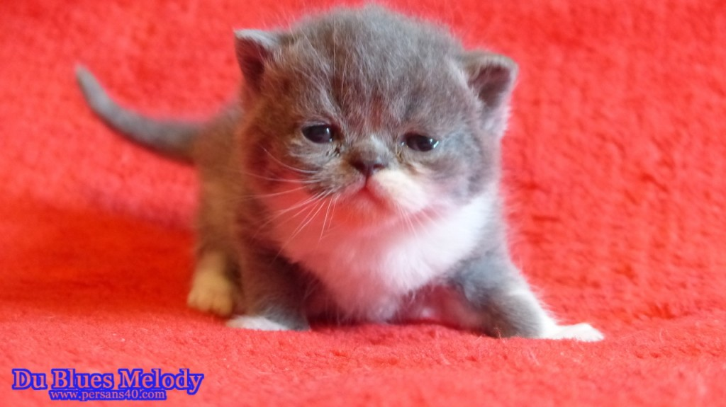 PICASSO - chaton exotic shorthair