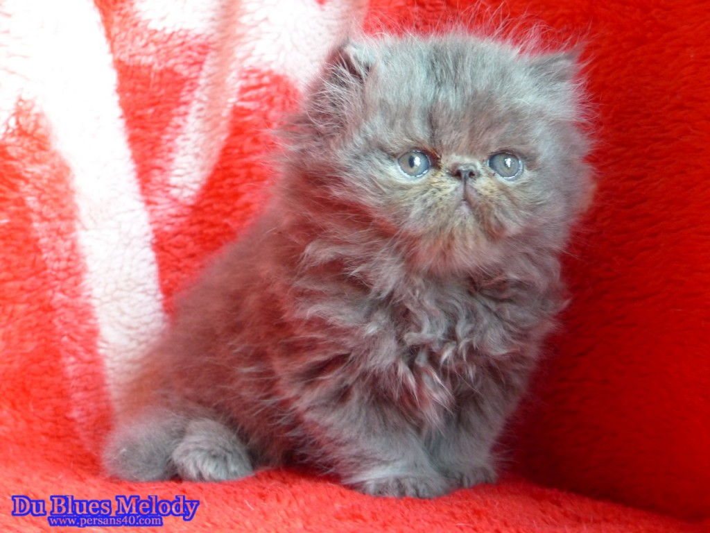 Pharaon chaton persan