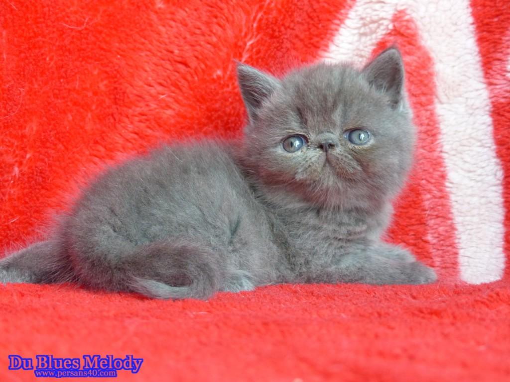 PRINCE chaton exotic shorthair bleu - CLIQUEZ SUR MA PHOTO