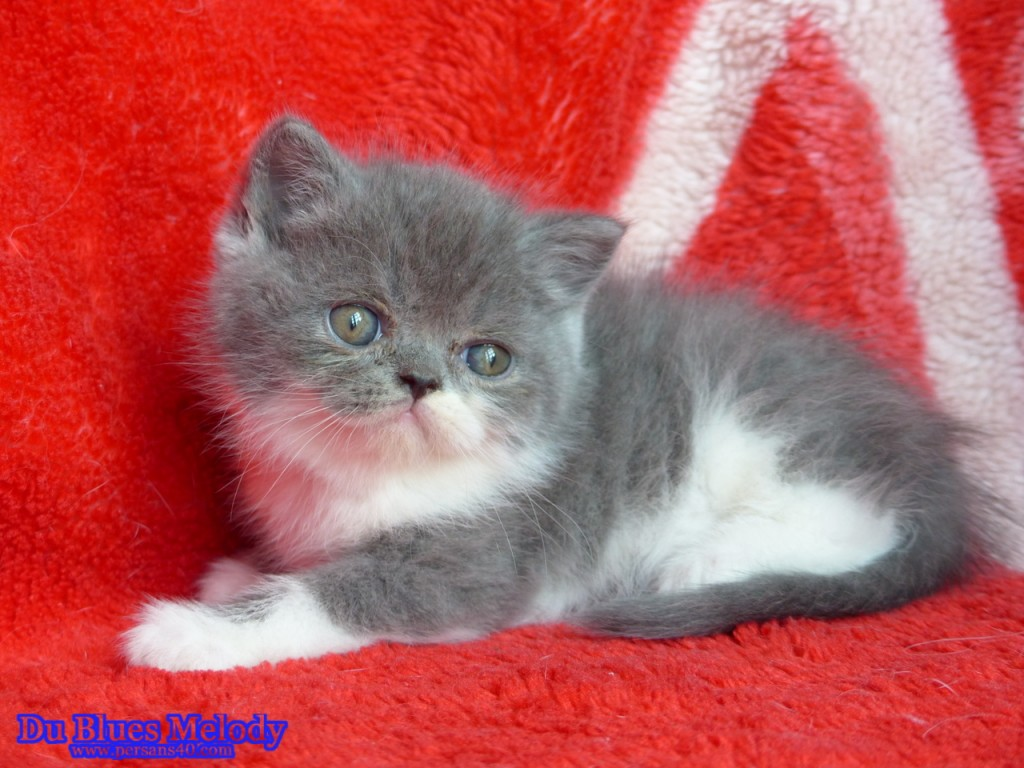 POLO - chaton exotic shorthair