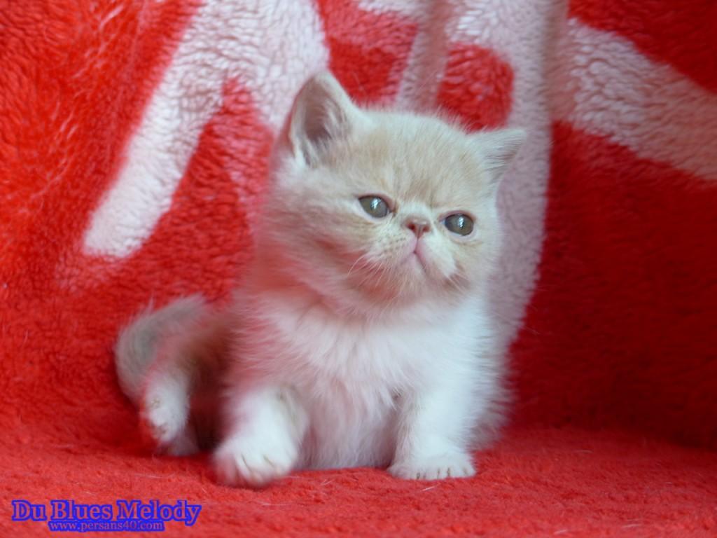 POPCORN chaton exotic shorthair crème et blanc