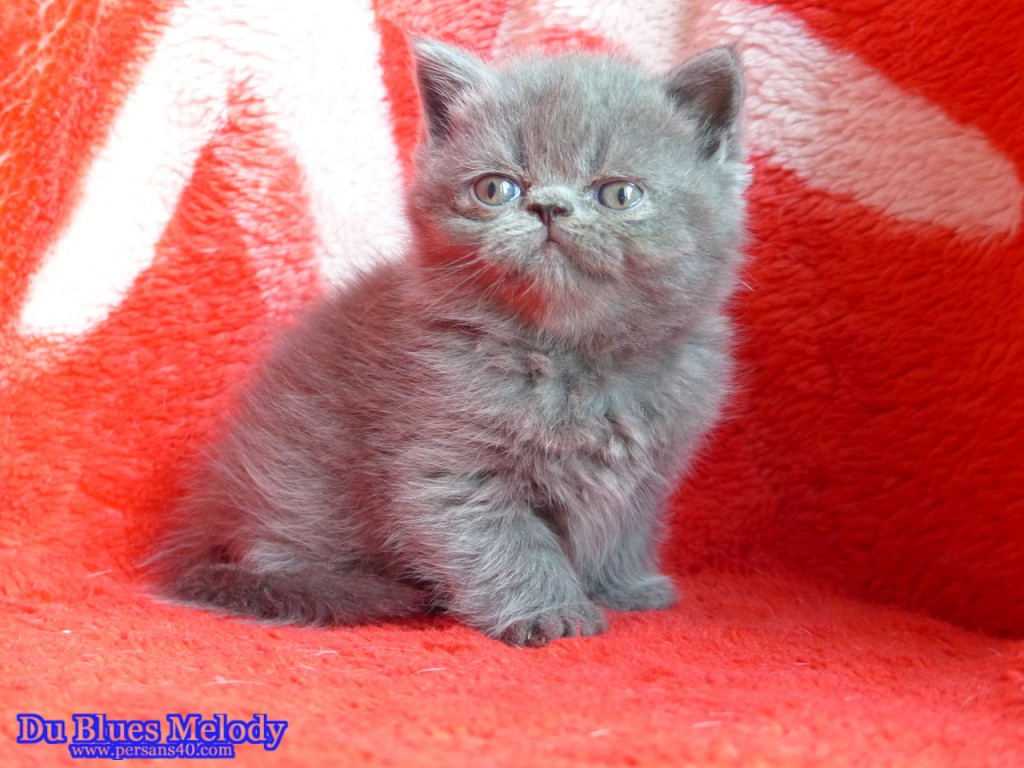 Pandora - chaton exotic shorthair