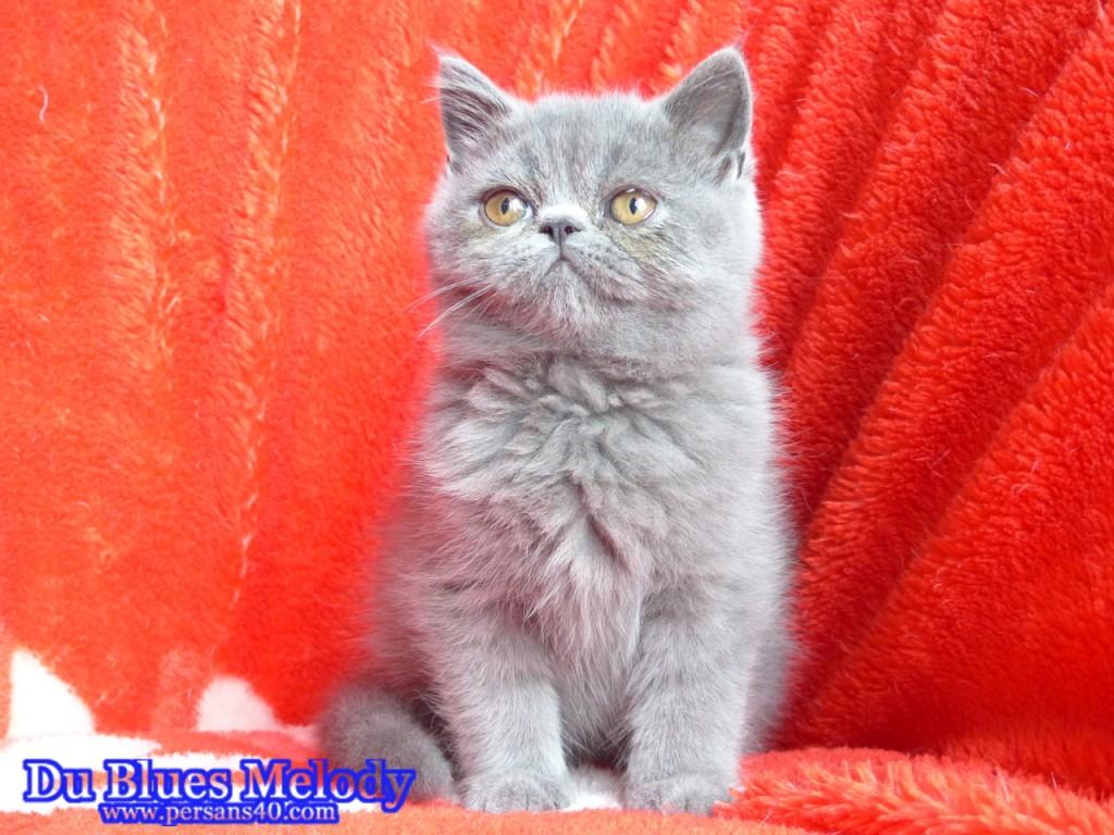 PANDORA - chaton exotic shorthair bleu