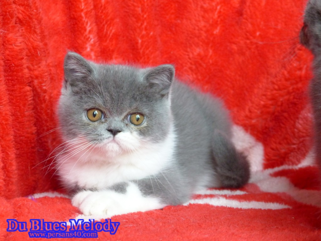 POLO chaton exotic shorthair bleu et blanc