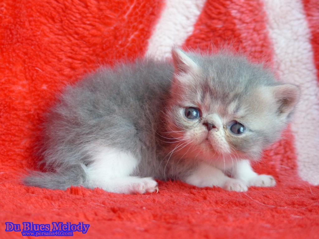 POM - chaton exotic shorthair