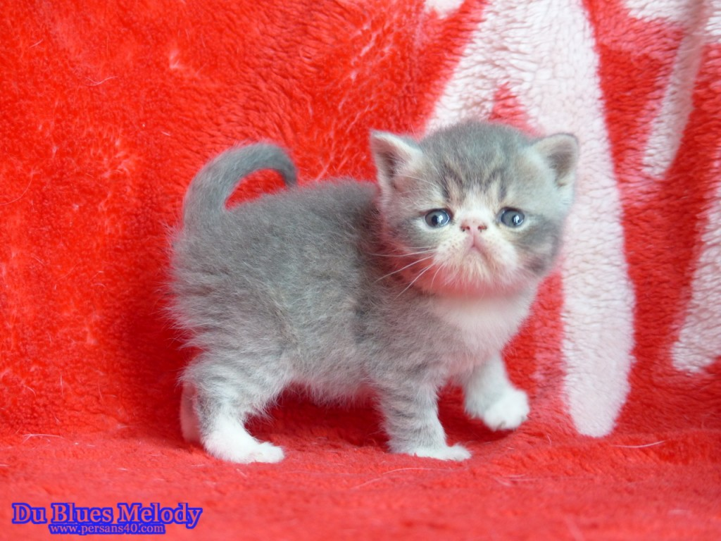 PRINCESSE - chaton exotic shorthair