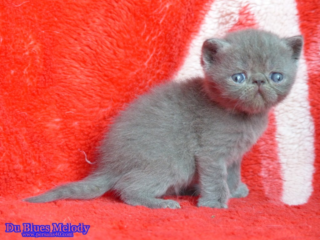PARKER - chaton exotic shorthair
