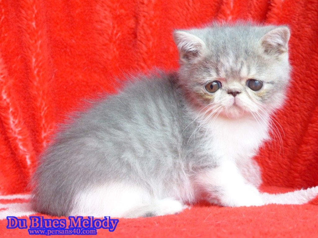 PAF chaton exotic shorthair bleu et blanc mackerel tabby