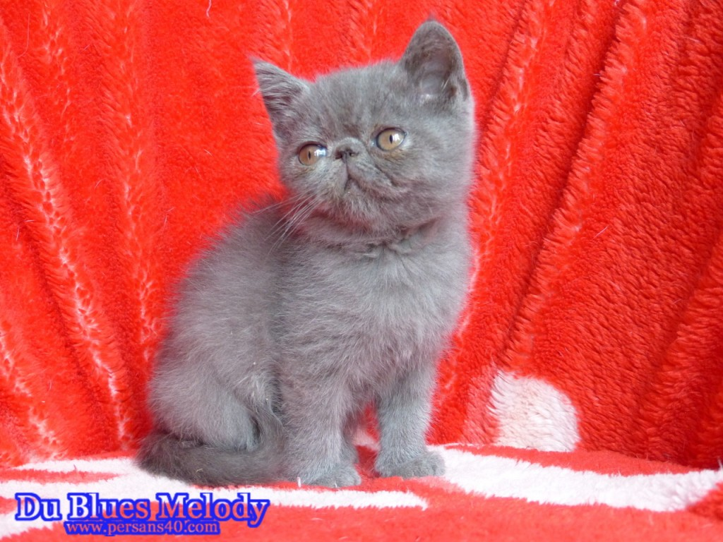 PARKER chaton exotic shorthair bleu