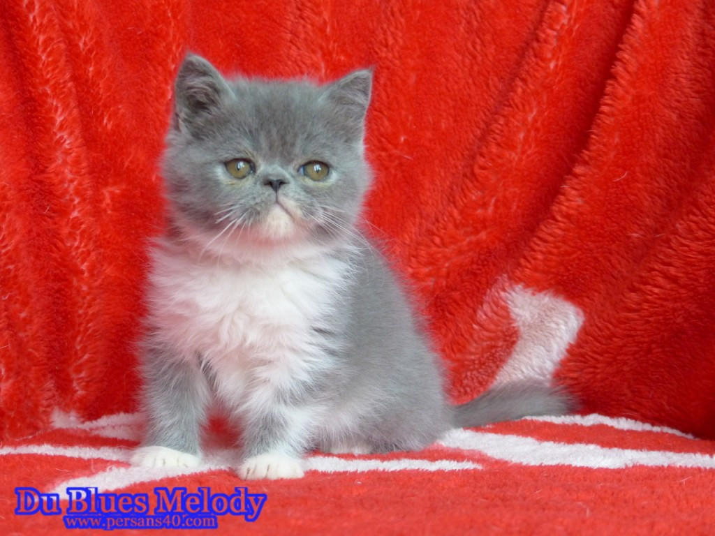 PERDITA chaton exotic shorthair bleu et blanc