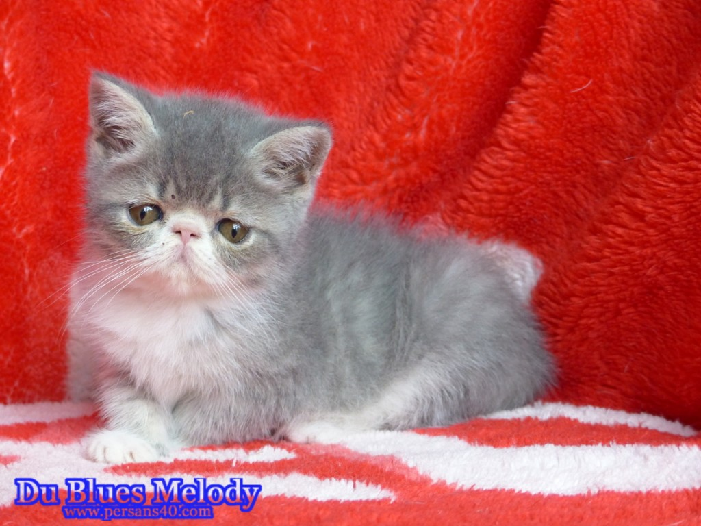 PRINCESSE chaton exotic shorthair bleu mackerel tabby et blanc