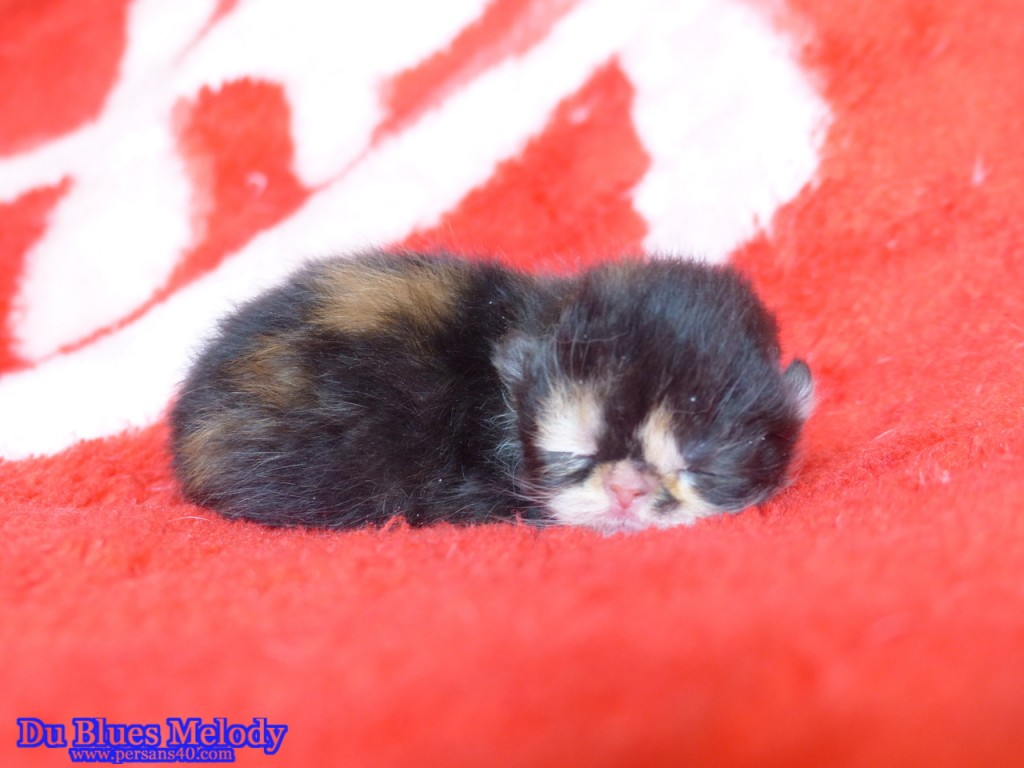 ROLLING STONE chaton persan ou exotic shorthair (en attente) black tortie et blanc
