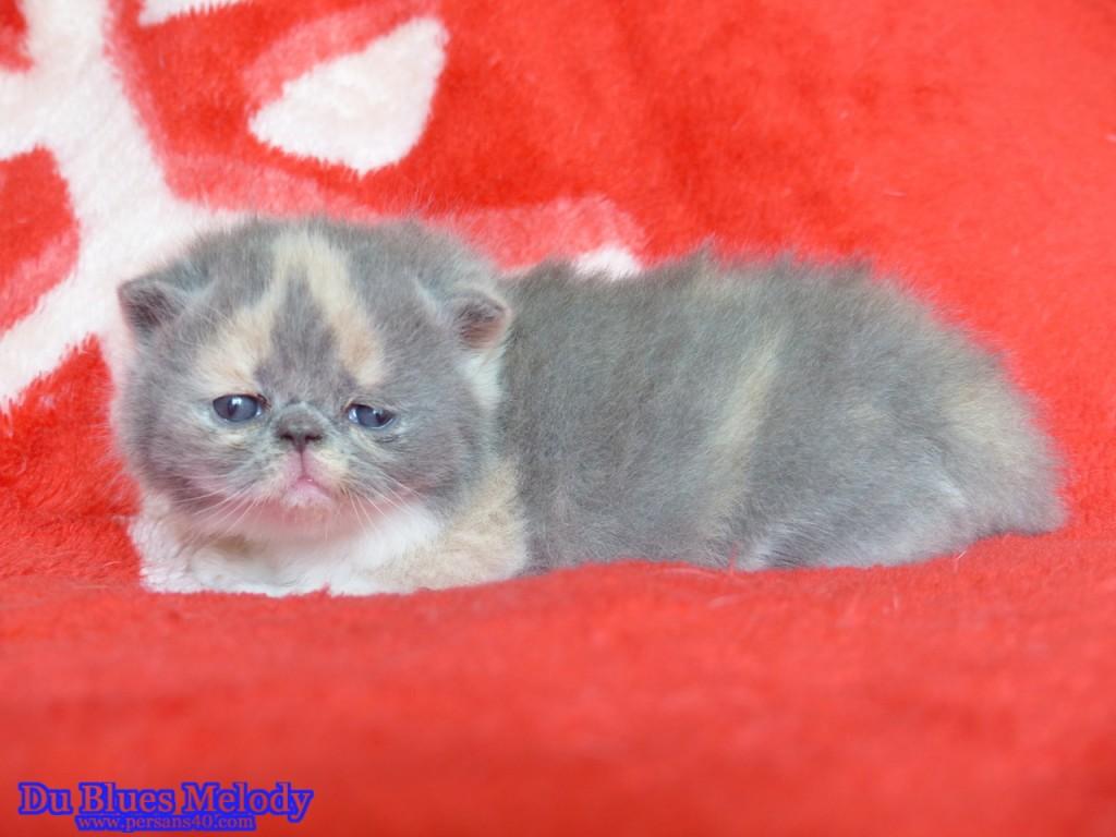 RITOURNELLE chaton persan blue tortie et blanc