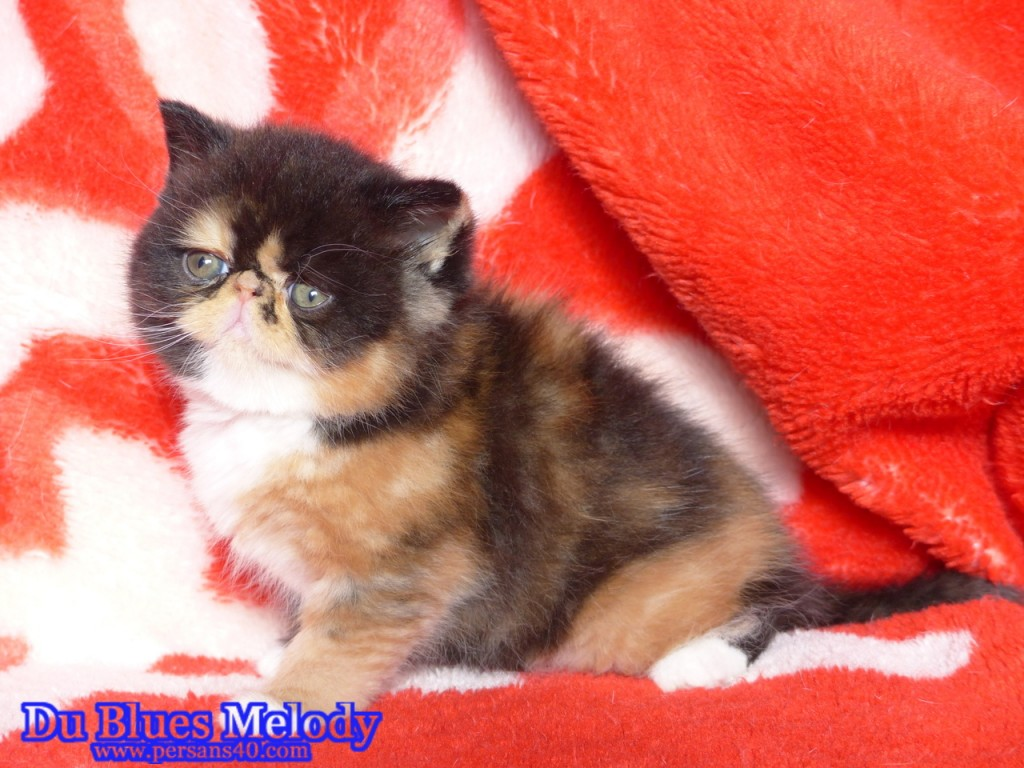 ROLLING STONE chaton exotic shorthair black tortie et blanc