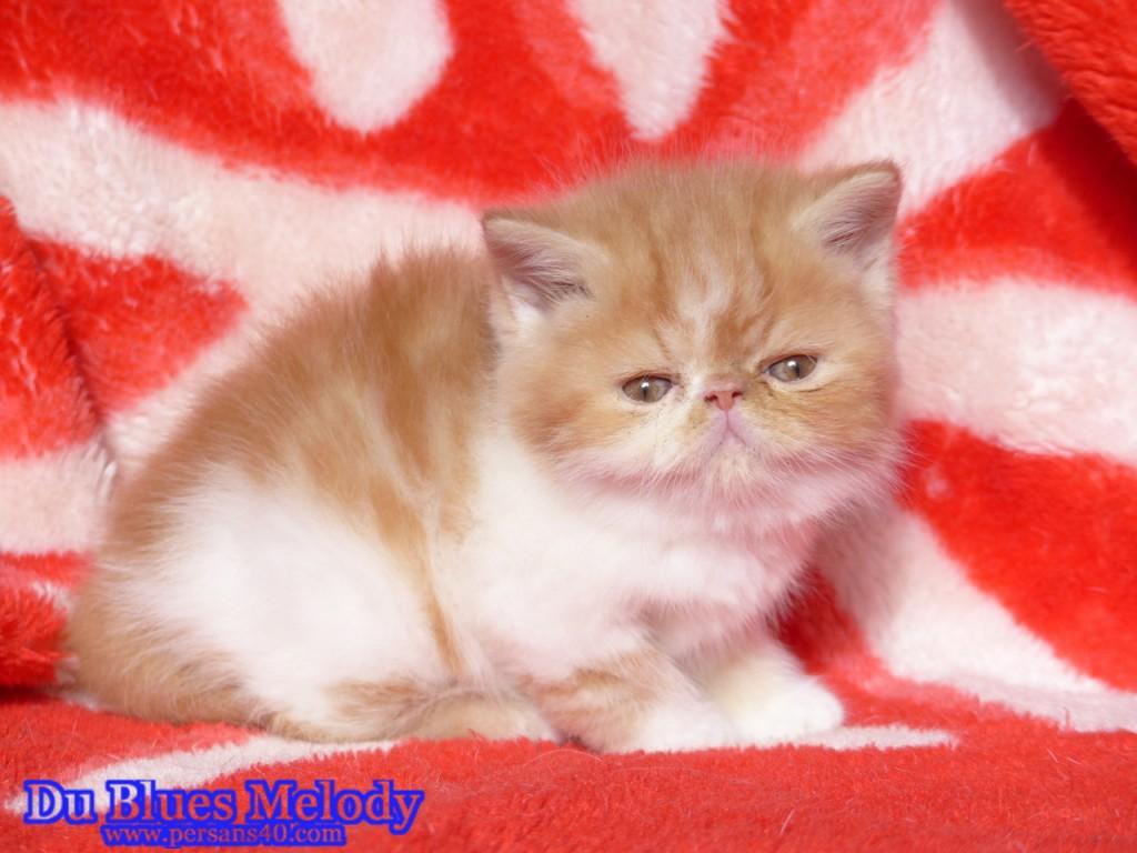 ROMEO chaton exotic shorthair (en attente) roux et blanc