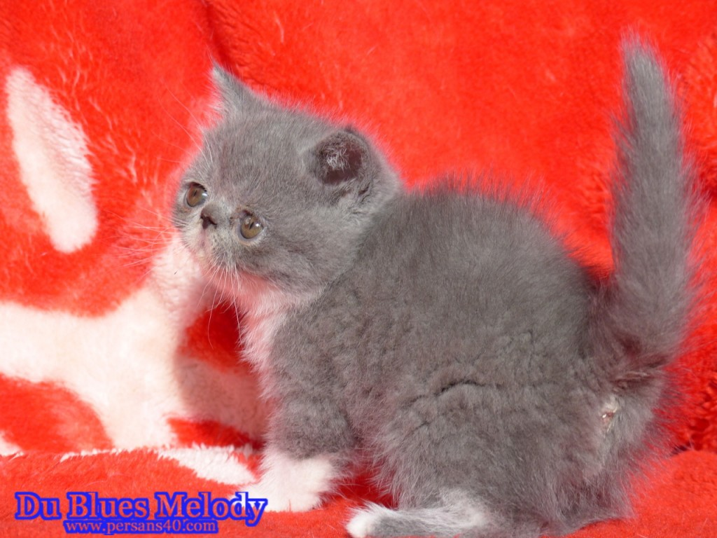 RAINBOW chaton exotic shorthair bleu et blanc