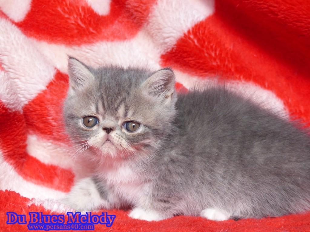 ROSALIE (ex RAFALE) chaton exotic shorthair bleu et blanc mackerel tabby