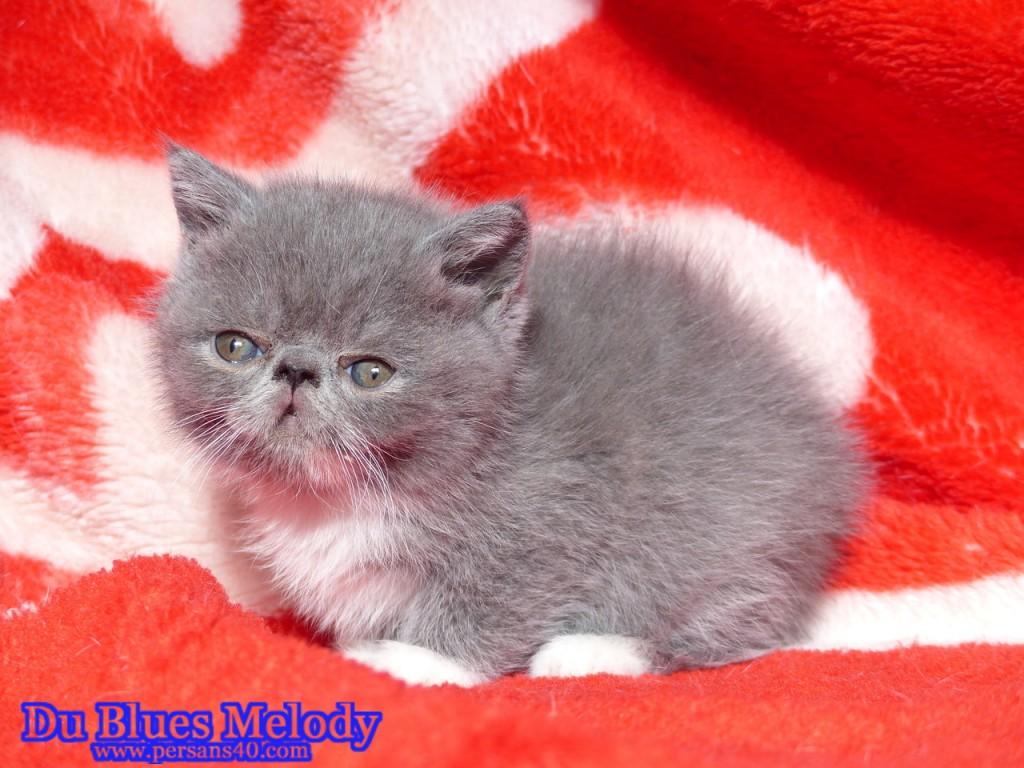 RUSTINE chaton exotic shorthair bleu et blanc