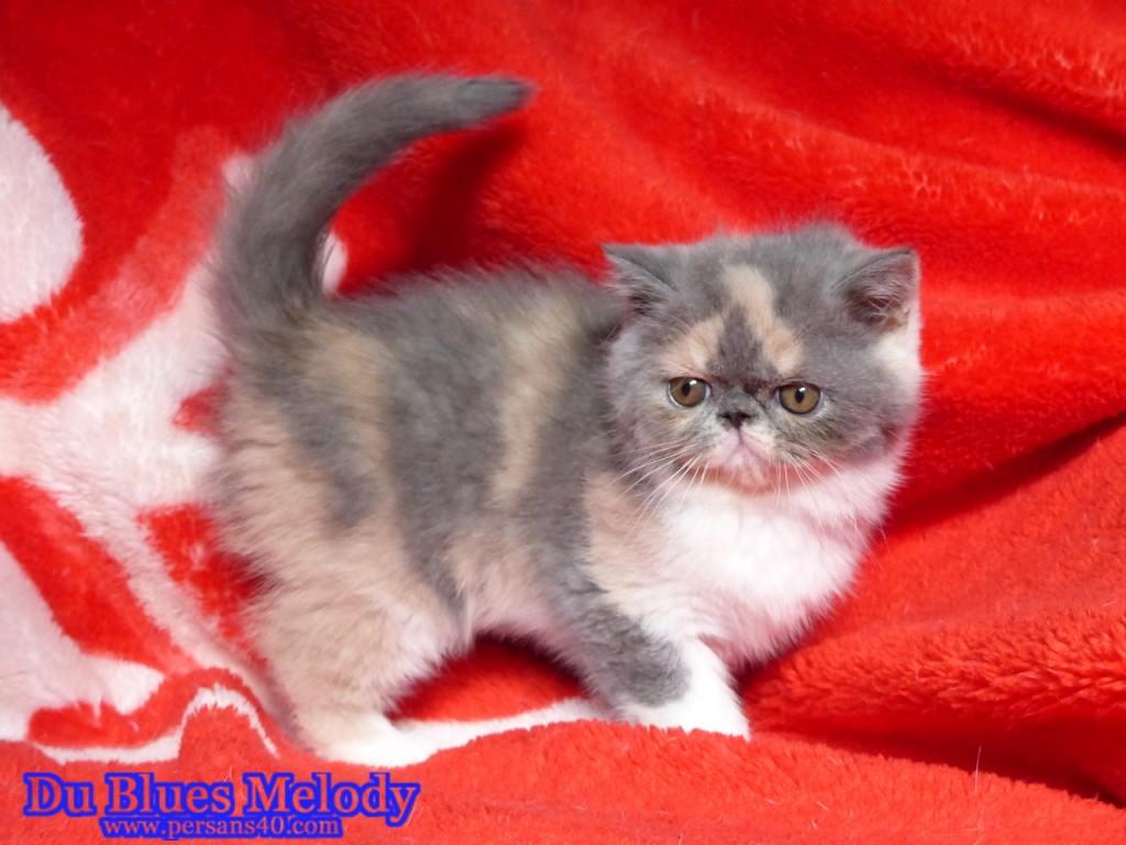 RITOURNELLE chaton exotic shorthair blue tortie et blanc