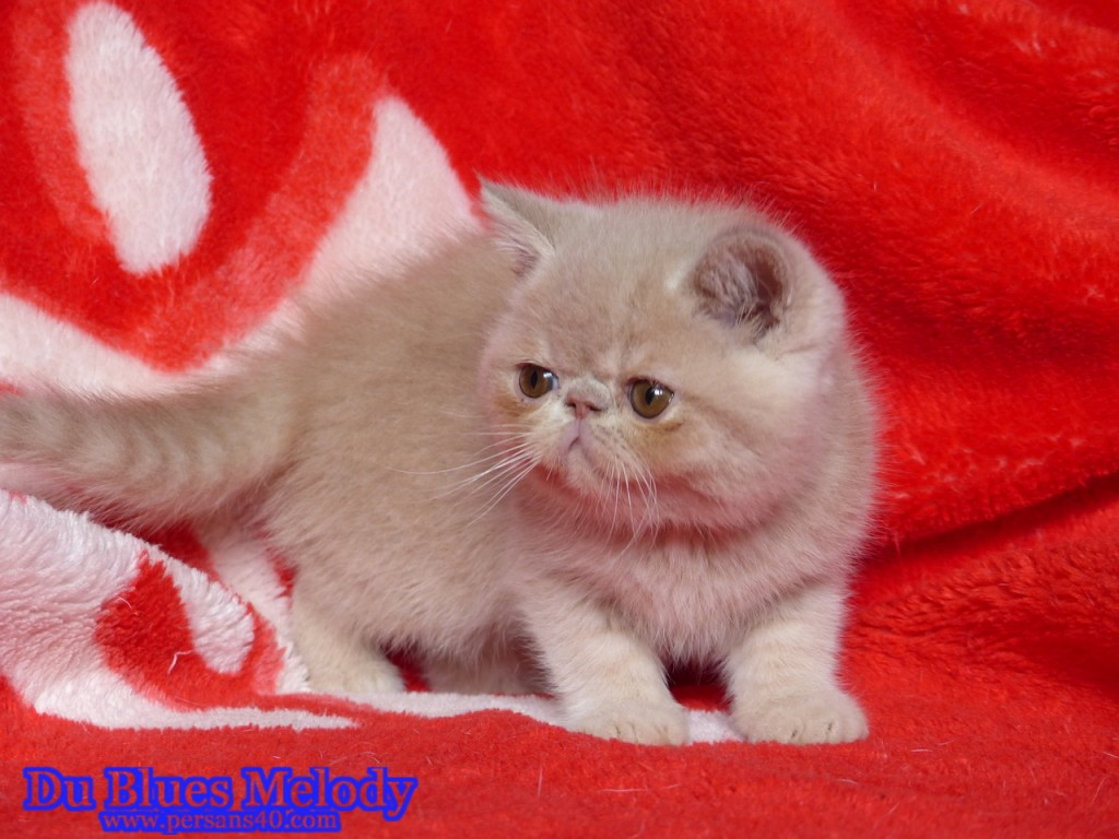 RYAN chaton exotic shorthair crème