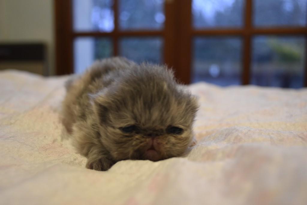 SHANGAÏ - chaton femelle persan bleu crème
