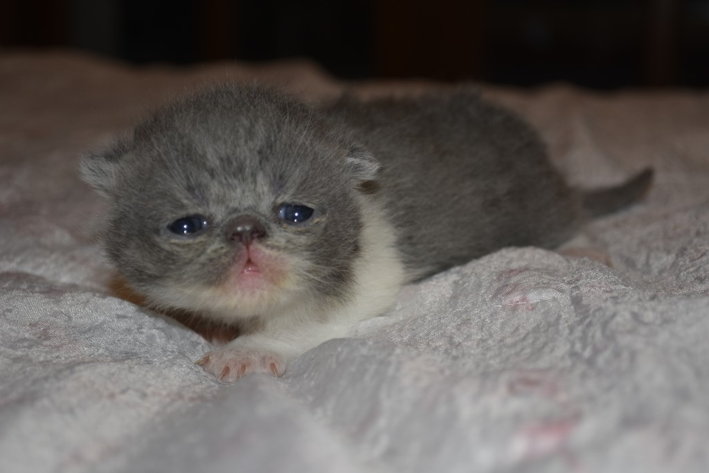 SANGOKU - chaton mâle exotic shorthair bleu et blanc