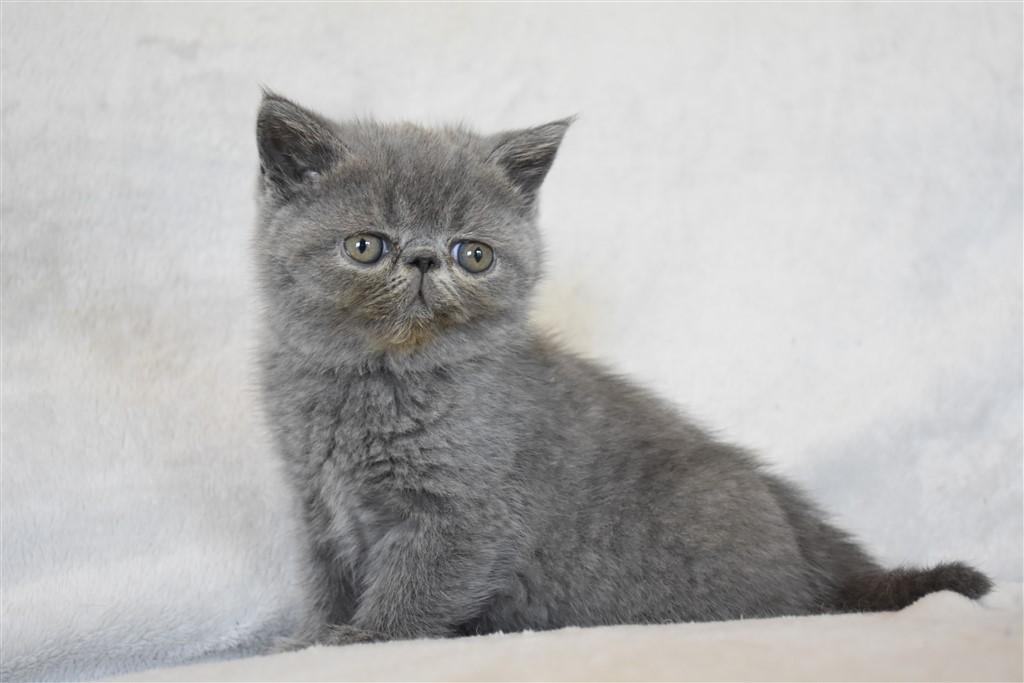 SULTANE - chaton femelle exotic shorthair bleue
