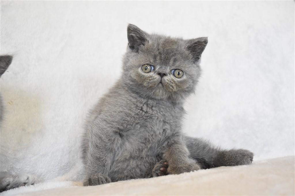 SAPHIR - chaton mâle exotic shorthair bleu