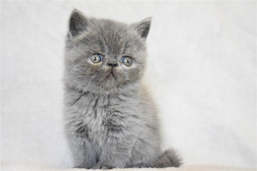 SAKURA (ex SHTROUMPHETTE) - chaton femelle exotic shorthair bleue