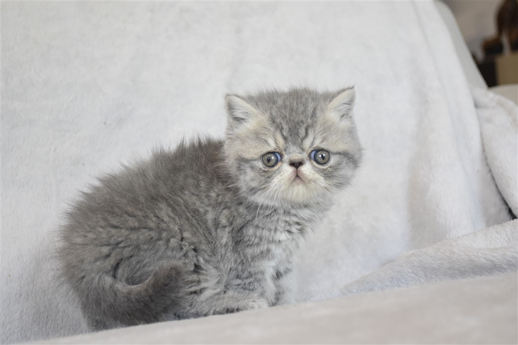 SUZETTE - chaton femelle exotic shorthair bleue tabby