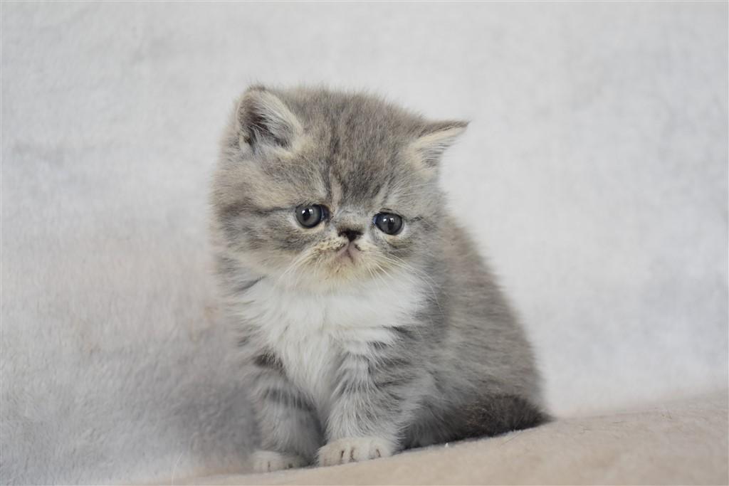 SHELSEA ( ex SCARLETTE) - chaton femelle exotic shorthair bleu et blanc tabby