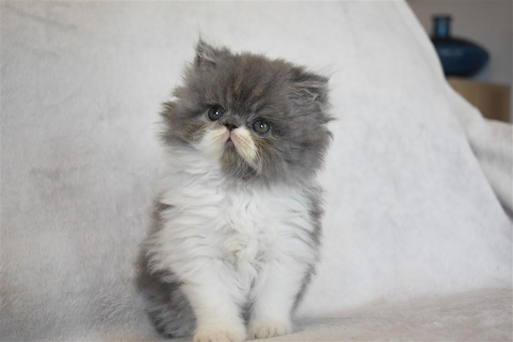 SHAMALOW - chaton mâle exotic shorthair bleu et blanc