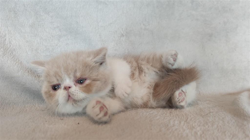 SMOOKY - chaton mâle exotic shorthair crème et blanc