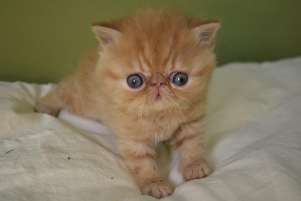 SAFARI - chaton mâle exotic shorthair roux tabby