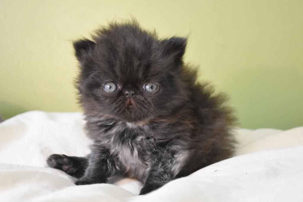 SAMOURAI - chaton mâle persan noir