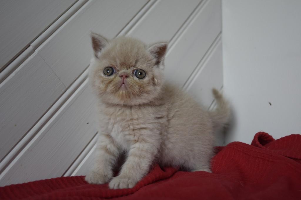 SUGAR - chaton mâle exotic shorthair crème