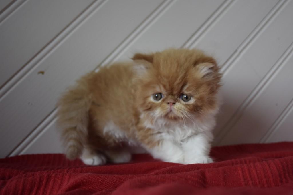 SUNDAY - chaton mâle persan roux et blanc